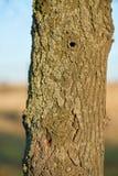 Un arbre infesté par le scarabée asiatique de longhorn photos stock