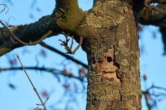 Un arbre infesté par le scarabée asiatique de longhorn image libre de droits