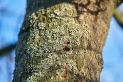 Un arbre infesté par le scarabée asiatique de longhorn images stock