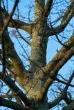 Un arbre infesté par le scarabée asiatique de longhorn photo libre de droits