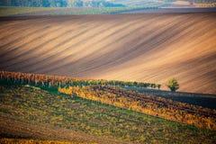 Un arbre isolé d'automne dans la perspective des champs et des lignes moravian des vignobles d'automne Paysage stupéfiant d'autom images libres de droits