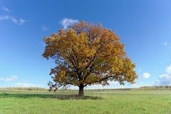 Un arbre isolé dans une clairière Images libres de droits