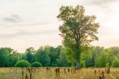Un arbre isolé se tient dans la steppe Coucher du soleil de soirée Photo stock