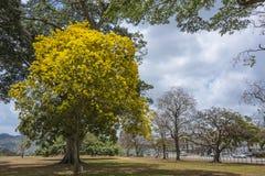 Un arbre jaune de poui en fleur au Trinidad Image stock