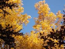 Un arbre jaune en automne Photo stock