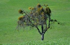Un arbre nu dans le printemps tôt couvert par le gui photographie stock