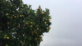 Un arbre orange avec des fruits hésite avec difficulté pendant le vent et la pluie banque de vidéos