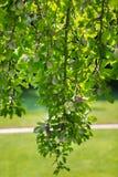Un arbre organique avec les pommes rouges et vertes douces et mûres dans le verger Le bel arbre fruitier sur le fond naturel frai Image libre de droits