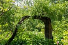 Un arbre peu commun, un bouleau dans le jardin botanique Photographie stock