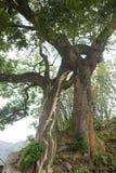 Un arbre qui ressemble à une étreinte du ` s d'amant Images libres de droits