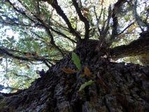 Un arbre ramifié dans la forêt Image libre de droits
