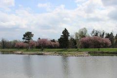 Un arbre rouge de fleur près d'un lac image stock