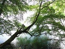 Un arbre s'élevant par hasard et accrochant au-dessus du lac Photographie stock libre de droits