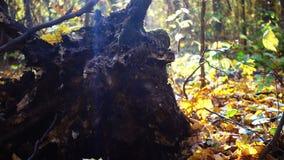Un arbre tombant dans la forêt retire sa racine, mouvement lent clips vidéos