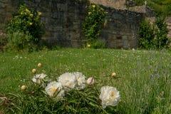 Un arbusto color de rosa blanco delante de la pared bricked Fotos de archivo libres de regalías