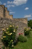 Un arbusto color de rosa en la pared bricked Fotografía de archivo libre de regalías