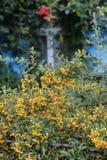 Un arbusto con las frutas amarillas contra un fondo de lianas florecientes overgrown en casa Imagenes de archivo