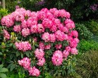 Un arbusto con rododendros rojos Imagenes de archivo
