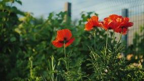 Un arbusto de amapolas rojas florece en la cerca Escena del verano en el pueblo metrajes