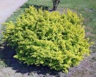 Un arbusto de Barabaris ornamental espinoso con las hojas amarillas imagen de archivo