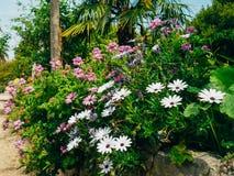 Un arbusto de flores púrpuras En el osteospermum del primero plano, cerca de t Foto de archivo