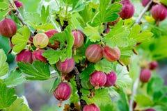 Un arbusto de grosellas espinosas con las bayas maduras Ramificación de grosellas espinosas fotos de archivo libres de regalías