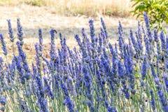 Un arbusto de las flores de la lavanda Fotografía de archivo libre de regalías
