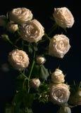 Un arbusto de las rosas blancas Foto de archivo