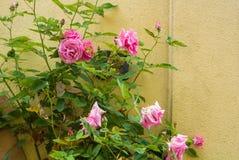 Un arbusto de las rosas rosas claras que florecen cerca de la pared amarilla Fotografía de archivo libre de regalías