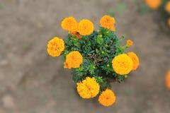 Un arbusto de las sonrisas anaranjadas de los claveles en el sol Un arbusto de claveles anaranjados en un fondo aislado foto de archivo libre de regalías