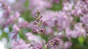 Un arbusto de lila en el verano, día ventoso almacen de metraje de vídeo