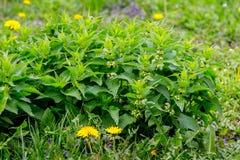 Un arbusto de ortigas entre la hierba verde en el fondo del trees_ imagen de archivo
