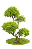Un arbusto de plantas ornamentales de las buganvillas aisladas sobre pizca Fotos de archivo