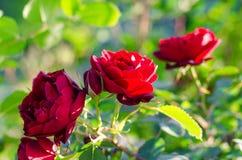 Un arbusto de rosas rojas Imagen de archivo libre de regalías