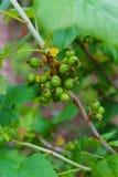 Un arbusto de una grosella negra con las bayas verdes no todavía maduradas En el jardín fotografía de archivo libre de regalías