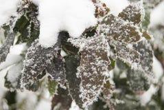 Un arbusto decorativo sempreverde coperto di brina su un gelido Fotografia Stock