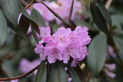 Un arbusto del rododendro Fotografie Stock Libere da Diritti