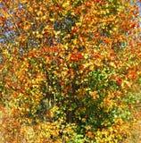 Un arbusto della foresta con le bacche rosse in autunno Immagine Stock Libera da Diritti