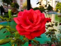 Un arbusto espinoso o arbusto que llevan típicamente las flores fragantes rojas, rosadas, amarillas o blancas específicas al regi fotografía de archivo