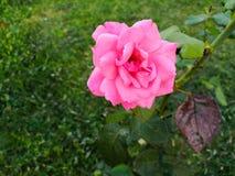 Un arbusto espinoso o arbusto que llevan típicamente las flores fragantes rojas, rosadas, amarillas o blancas específicas al regi fotos de archivo