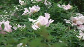 Un arbusto floreciente con la peonía grande rosada florece el tiroteo en tiempo nublado en el verano Vídeo lento panorámico de almacen de video