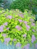Un arbusto florido en primavera Foto de archivo