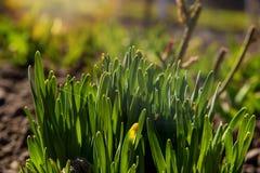 Un arbusto grande de plantas verdes jovenes brota de la tierra bajo sunlights tempranos de la primavera imagen de archivo libre de regalías