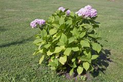 Un arbusto joven de la hortensia rosada crece en un césped rústico Imagen de archivo