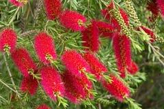 Un arbusto rojo del bottlebrush (Callistemon) Imágenes de archivo libres de regalías