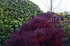 Un arbusto rojo/púrpura que pone en contraste con los arbustos verdes fotos de archivo libres de regalías