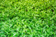 Un arbusto verde piacevole in giardino bene abbellito porta la pace e un buon cambiamento per sedersi per una certi riflessione s Fotografia Stock Libera da Diritti