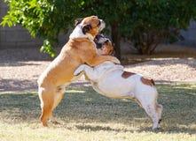 Un arco di due bulldog su mentre lottando Immagini Stock Libere da Diritti