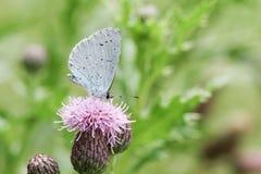 Un argiolus azul de Celastrina de la mariposa del acebo nectaring en una flor del cardo Fotografía de archivo