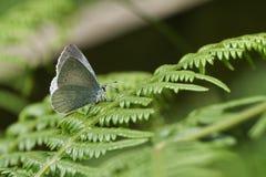 Un argiolus bonito de Holly Blue Butterfly Celastrina que se encarama en una hoja del helecho fotos de archivo